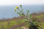 Eastern Groundsel (Senecio vernalis)